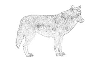 Wolf Ausmalbilder Fur Erwachsene Tiere Zum Ausdrucken