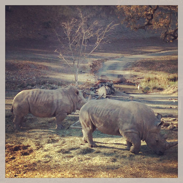 safari-west-santa-rosa-rhinos