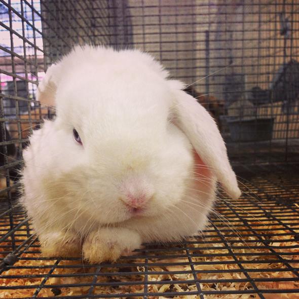 bunnies-at-fair