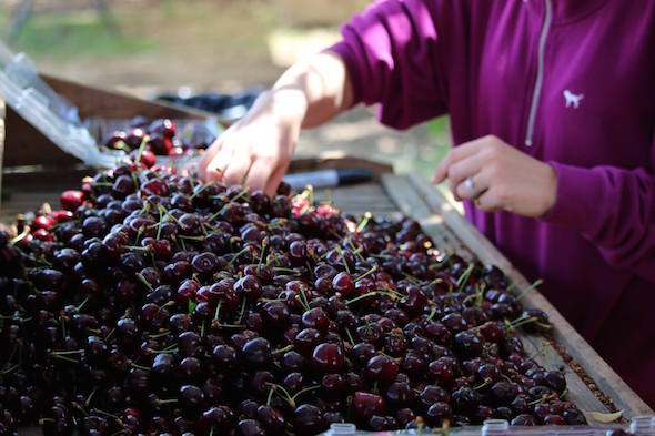 Cherry harvest in Brentwood