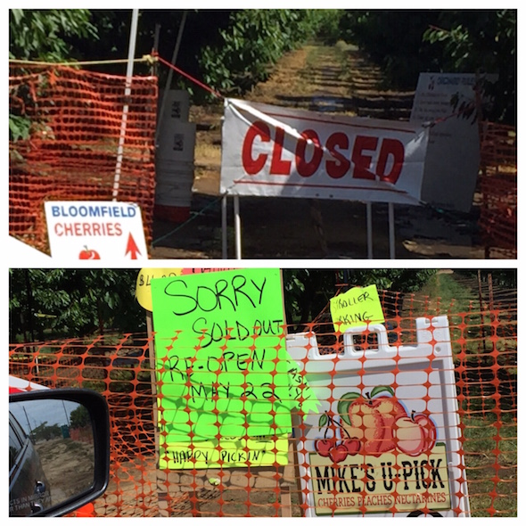 Cherry harvest in Brentwood: when all the stands are CLOSED