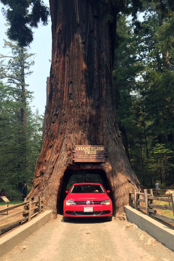Drive Through Tree - Road Trip to Oregon's Coast
