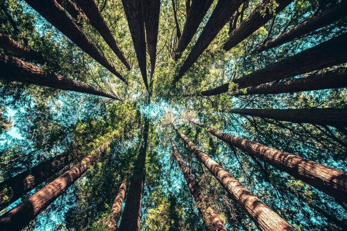 felton redwoods