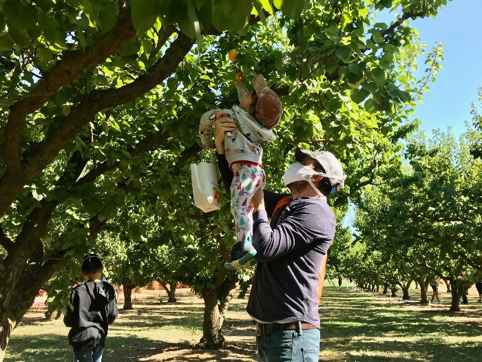 Apricot Picking in Brentwood