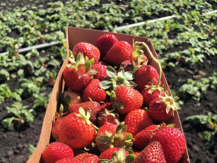 strawberries in the field
