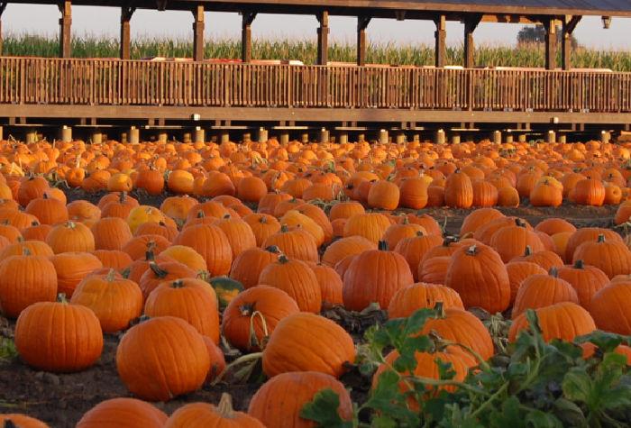 Dell'Osso pumpkins on the farm