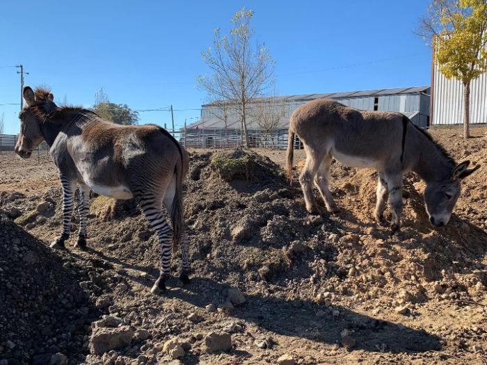 donkey and zonkey