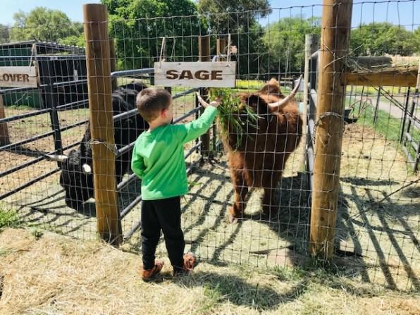 Heirloom Acres Farm Cow