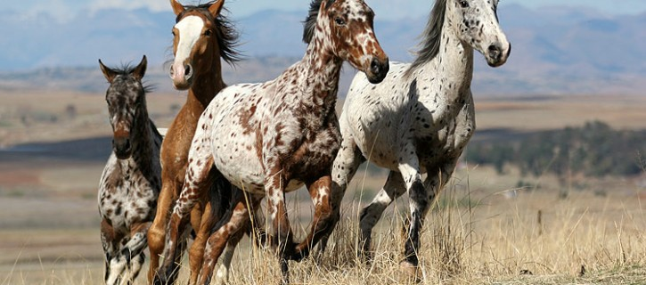 Image result for altai horse