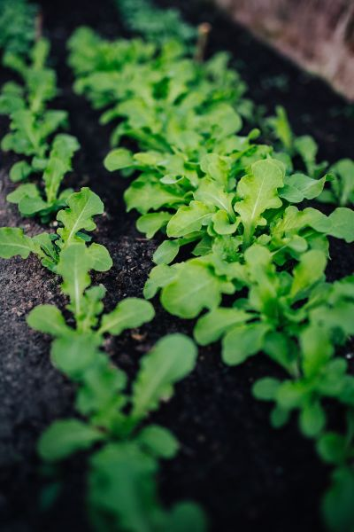 rows of baby lettuce sprouting
