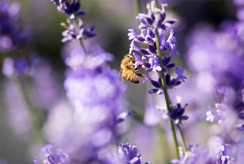 a bee on lavender 5 dog farm