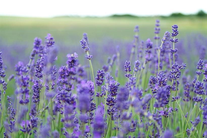 a field of lavender 5 dog farm