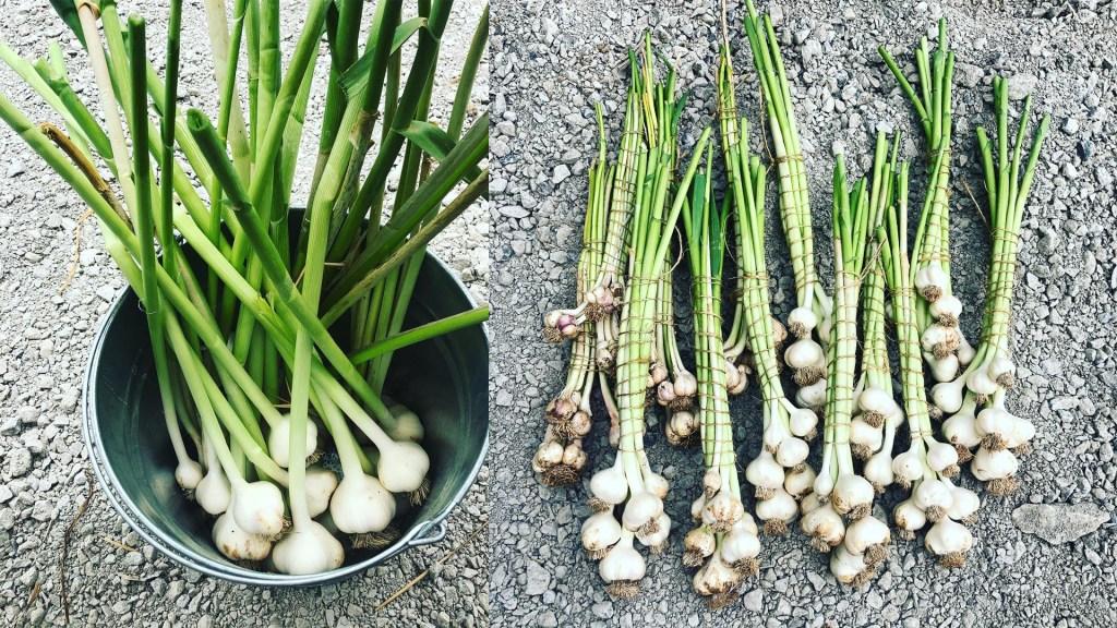 nootka rose garlic 5Dog Farm