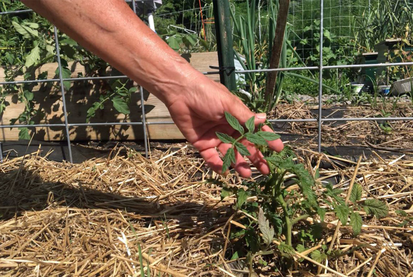 hand reaching for tomato plant