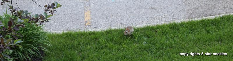 Rabbit in my garden