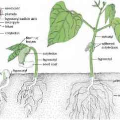 Lima Bean Seed Part Diagram 3 Phase Wiring Where Are Seeds Developed In Figure 8.1 - Flowering Plants