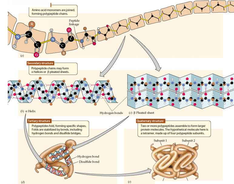 peptide structure diagram simple sentence diagramming software hydrogen bonding h2o ~ elsavadorla