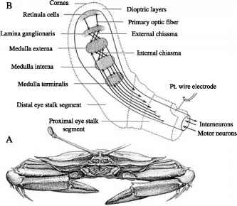Feature Extraction by Optic Lobe Units of Crustaceans