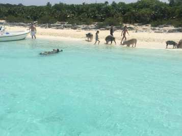 E eles fazem a alegria da criançada, Pig Beach, Bahamas.