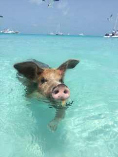 ilha dos porcos nadando com porcos nas bahamas