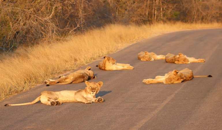 Lion pride blocking a road at Kruger National Park.