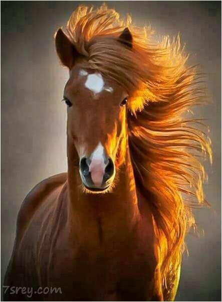 صور خيول جميلة أحلي صور حصان عربي أصيل خلفيات خيول رائعة
