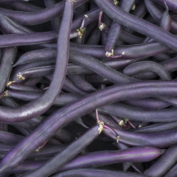 Buskbønne Purple Teepee