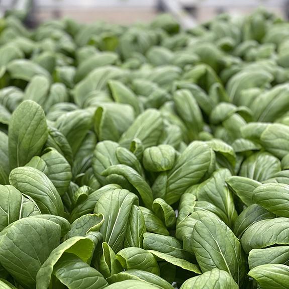 80 Acres Farms baby got BOK Leafy Greens