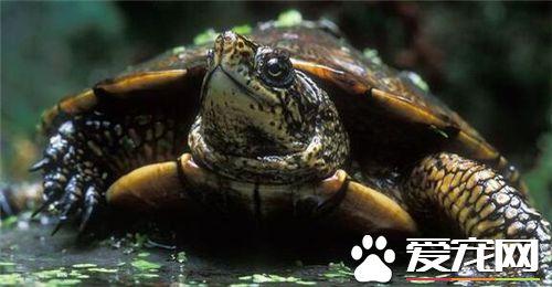 三種最適合家庭飼養的烏龜.建議還是做火化的處理_爬行寵物飼養