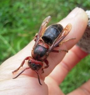 チャイロスズメバチの女王蜂
