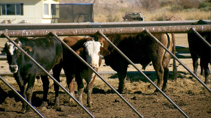 Bundy_cows_700_1549066998741.jpg