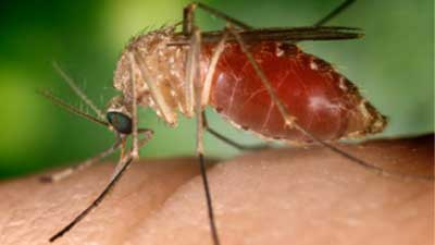 west_nile_mosquito_400_1556294932519.jpg
