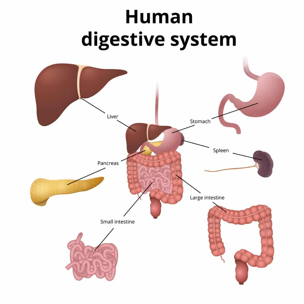 10 Characteristics Of Digestive System