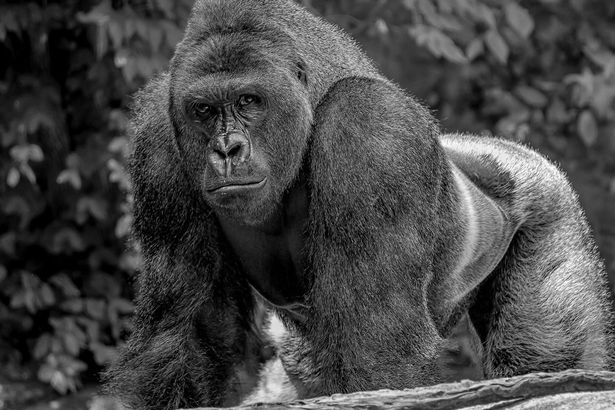 Picture of Harambe