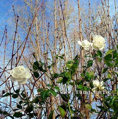 rose.winter.weiss (2)aa