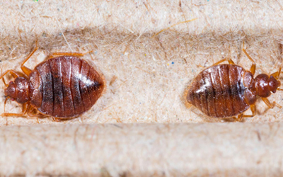 Do Bed Bugs Live Only In Bed?
