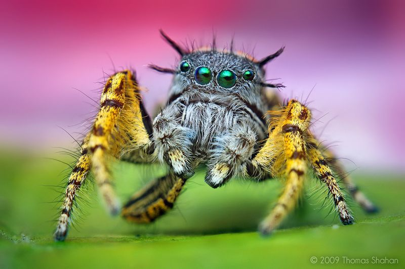 Incredible Macro Photography Phidippus Spider