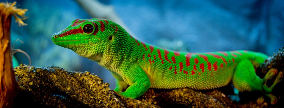 beauty phelsuma madagascariensis photos 1