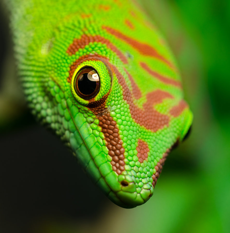 beauty phelsuma madagascariensis photos 6