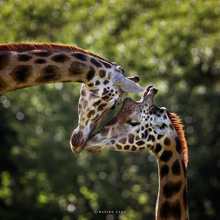 Giraffe wild animals photography by Marina Cano 01