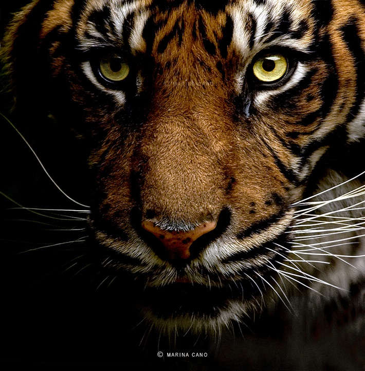 Tiger wild animals photography by Marina Cano 01