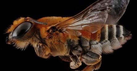 Portraits Bee Macro Photography by Sam Droege