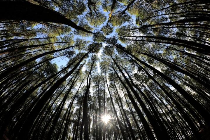 Pine Forest - Imogiri