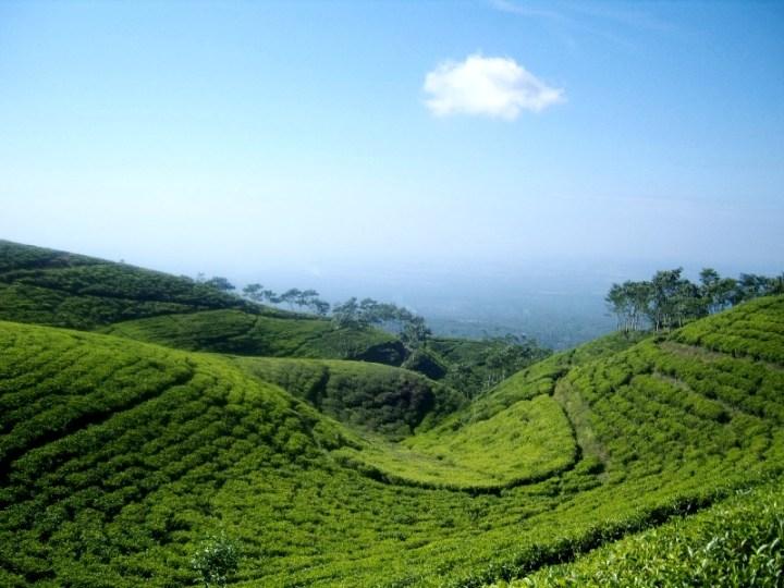 Tea gardens Gucialit -Lumajang