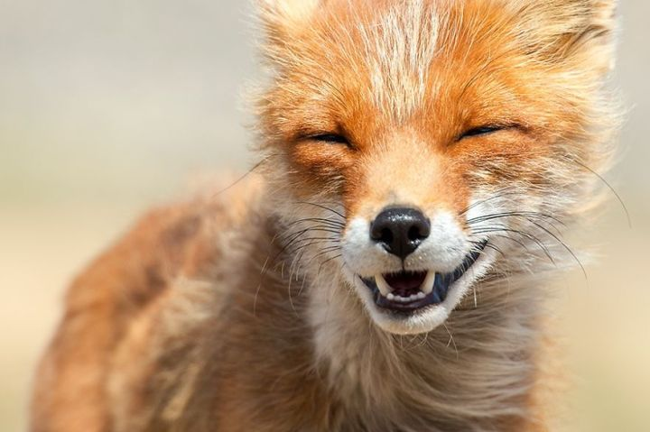 Amazing Foxes Photography In The Arctic Circle