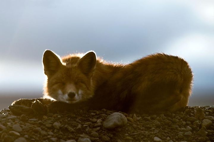 Beauty Foxes Photography In The Arctic Circle by Ivan Kislov  03