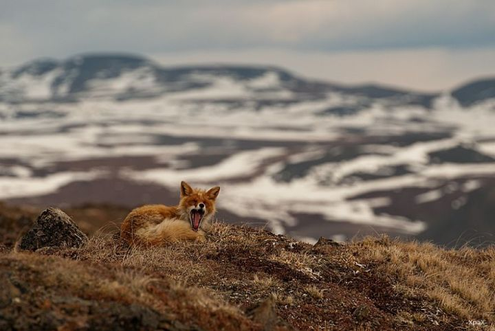 Best Photoshoot of Life Foxes In The Arctic Circle by Ivan Kislov 01