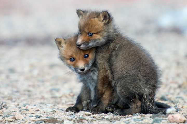 Best Photoshoot of Life Foxes In The Arctic Circle by Ivan Kislov 03