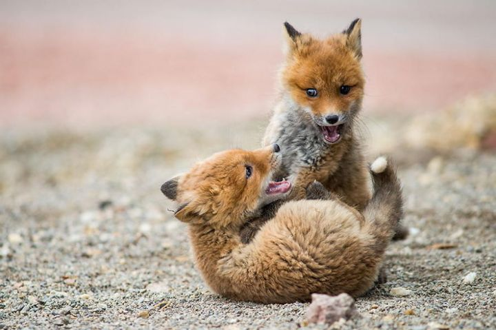 Best Photoshoot of Life Foxes In The Arctic Circle by Ivan Kislov 04