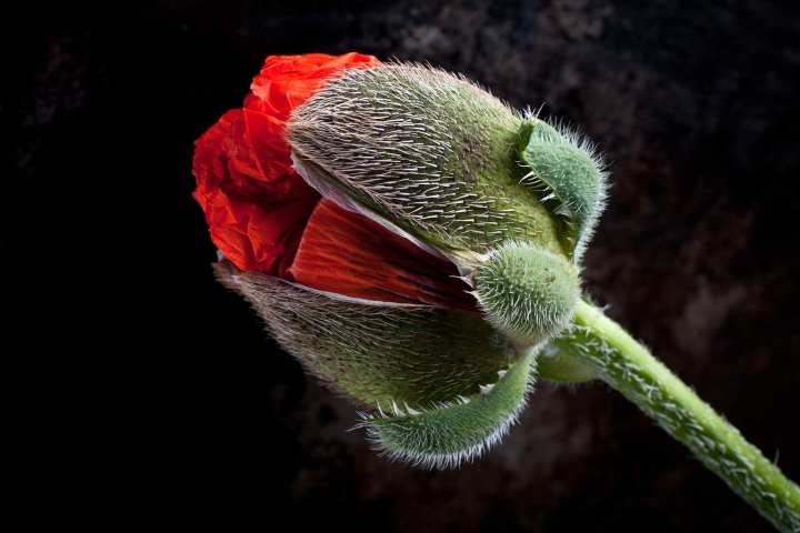 A close-up of a giant poppy by Stuart Hall 01